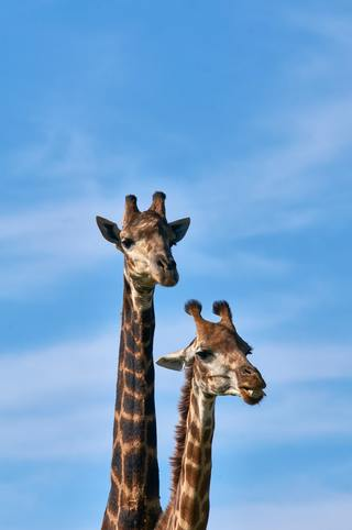 two brown girafe by Wolfgang Hasselmann